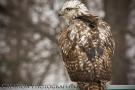 Redtail Hawk 03
