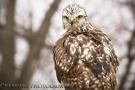 Redtail Hawk 02